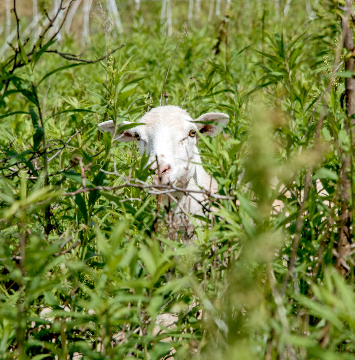 Sheep in the grass